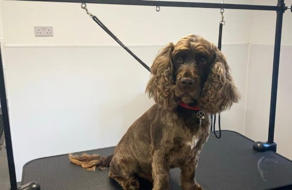 English Show Cocker Spaniel after a visit to Orchard Grooming