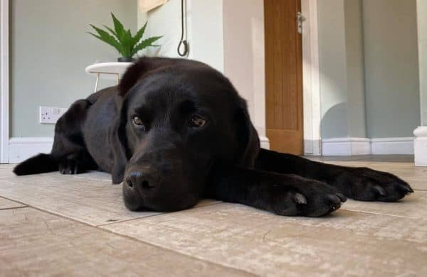 Labradors are beautiful dogs and we love having them at Orchard Grooming Woodmancote