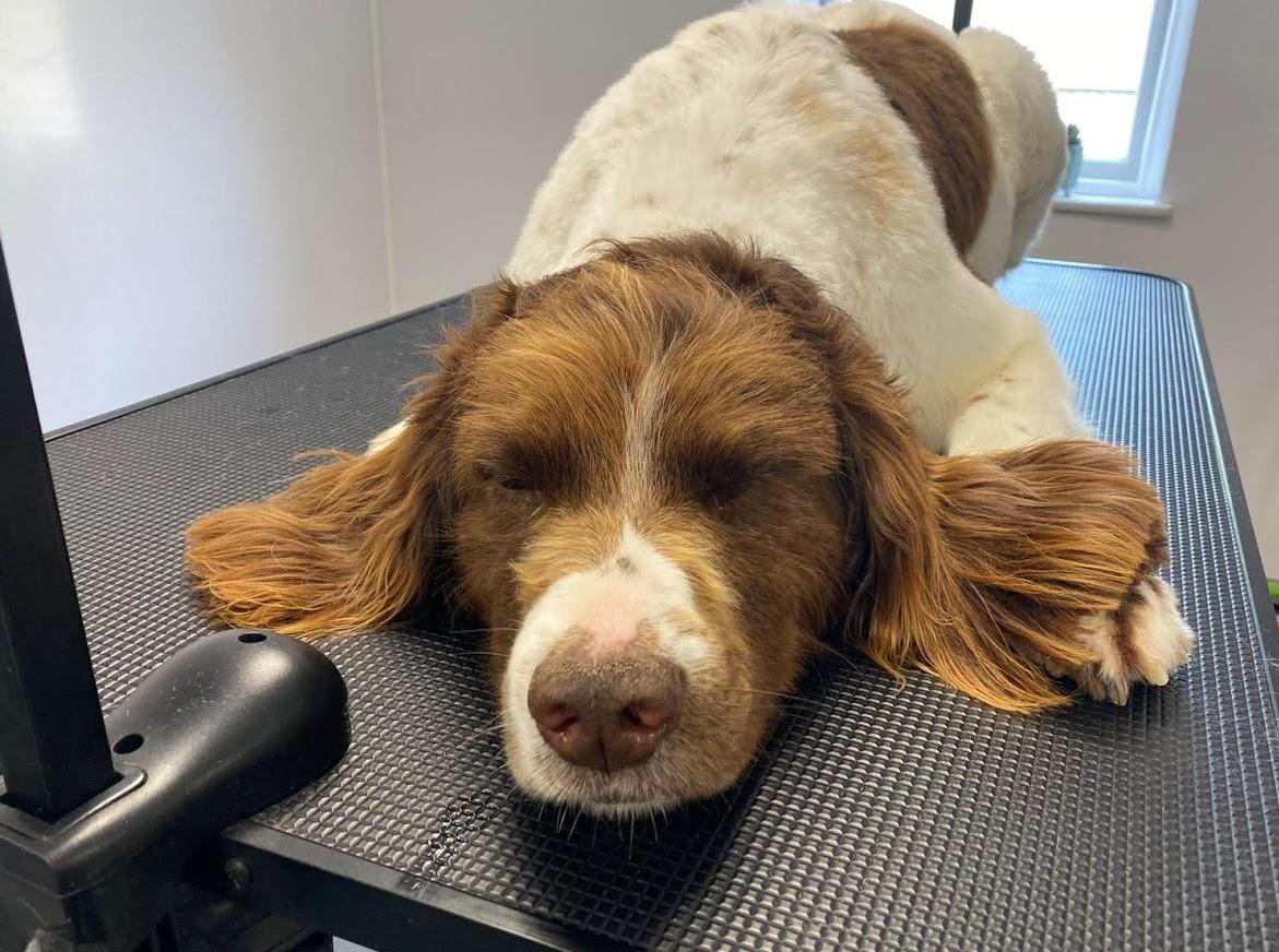 Springer Spaniel Orchard Dog Grooming Cheltenham Southam Bishops Cleeve Woodmancote Cropped